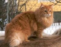 Il Gatto Siberiano E La Sua Storia